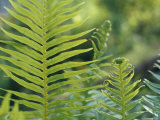 Lime Green New Growth Fern Fronds Lit Up by Sunrays, Australia Photographic Print by Jason Edwards
