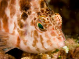 Portrait of a Hawkfish, Malapascua Island, Philippines Photographic Print by Tim Laman