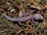 Mauve and White Dots Line a Young Spotted Velvet Gecko on Moss, Australia Photographic Print by Jason Edwards