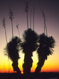 The Sun Sets Behind a Stand of Yucca Elata Photographic Print by Bill Hatcher