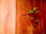 Plant Growing in Crack in Red Wall of Ming Dynasty Chinese Mausoleum, China Fotografisk tryk af David Evans