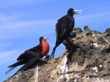 Male and Female Magnificent Frigatebird Perch on a Coastal Rock, Baja, Mexico Photographic Print by Kate Thompson