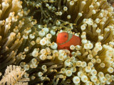 Spinecheek Anemonefish Nestled in its Anemone, Bali, Indonesia Photographic Print by Tim Laman