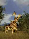 Two Rothschild Giraffes in Kidepo Valley National Park, Uganda Photographic Print by David Pluth