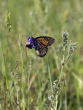Monarch Butterfly on a Wildflower, California Photographic Print by Rich Reid