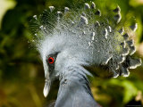 Victoria Crowned Pigeon Portrait Photographic Print by Tim Laman