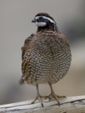 Northern Bobwhite Quail from the Toledo Zoo Fotografisk tryk af Joel Sartore