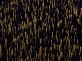 Pine Forest at Sunrise, Colorado Photographic Print by Michael S. Lewis