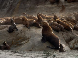 Stellers Sea Lions Hauled Out, Alaska Photographic Print by Ralph Lee Hopkins