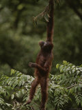 Orangutan Holding Onto a Tree Branch above It's Head Photographic Print by Mattias Klum