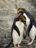 Macaroni Penguins Preening During Courtship Photographic Print by Ralph Lee Hopkins