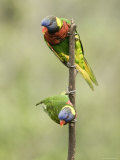 Two Captive Rainbow Lorikeets, Singapore Photographic Print by Tim Laman