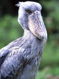 Shoebill Poses for the Camera near Entebbe, Uganda Photographic Print by David Pluth