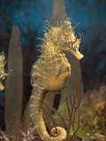 Male Sea Horse with Pouch Visible, Studio Shot, Australia Lámina fotográfica por George Grall