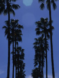 Tall Palm Trees in a Row Photographic Print by Stacy Gold
