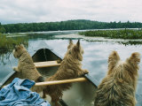 Norwich Terriers Enjoy a Canoe Ride on Lake Kezar Photographic Print by Robin Siegel