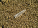 Lone Seagull Feather on a Beach, Block Island, Rhode Island Photographic Print by Todd Gipstein