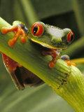 Red-Eyed Tree Frog, Costa Rica Fotografisk tryk af Steve Winter
