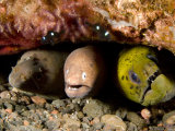 Three Species of Moray Eel All Sharing the Same Hole, Bali, Indonesia Photographic Print by Tim Laman