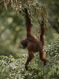 Orangutan Swinging from a Tree Branch Photographic Print by Mattias Klum