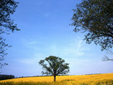 Lone Tree Stands in a Field of Yellow Flowers, Oregon Photographic Print by Kate Thompson