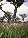 Shea Trees in Field, near Lira, Uganda Photographic Print by David Pluth