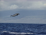 Pacific Spotted Dolphin Leaping into the Air, Hawaii Photographic Print by Bill Curtsinger