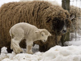 Lamb and Sheep in the Snow, Massachusetts Photographic Print by Tim Laman