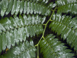 Raindrops Collect on Ferns in the Rainforest of Honolulu, Hawaii Photographic Print by Stacy Gold
