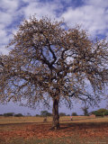 Shea Tree in a School Yard, near Lira, Uganda Photographic Print by David Pluth