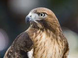 Recovering Captive Red-Tailed Hawk, California Papier Photo par Rich Reid