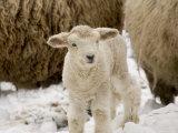 Lamb in the Snow, Massachusetts Photographie par Tim Laman