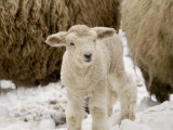 Lamb in the Snow, Massachusetts Photographic Print by Tim Laman