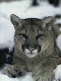Portrait of a Mountain Lion in the Snow Photographie par Dr. Maurice G. Hornocker