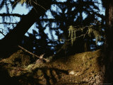 Marbled Murrelet Nesting in an Ancient Douglas Fir Tree, California Photographic Print by James P. Blair