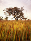 Shea Tree in Field, near Lira, Uganda Photographic Print by David Pluth