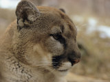 Portrait of a Mountain Lion in Profile Photographic Print by Dr. Maurice G. Hornocker