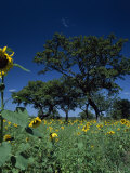 Shea Trees Intercropped with Sunflowers Photographic Print by David Pluth
