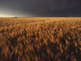 Summer Thunder Storm Approaches Wheat Field, Kansas Photographic Print by Brimberg &amp; Coulson 