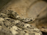 Speckled Rattlesnake at the Henry Doorly Zoo, Omaha Zoo, Nebraska Photographic Print by Joel Sartore