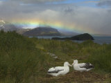 Rainbow and Wandering Albatross Nest Site, Prion Island, South Georgia Photographic Print by Ralph Lee Hopkins