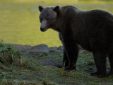 Solitary Brown Bear Along Salmon Stream, Alaska Photographic Print by Ralph Lee Hopkins