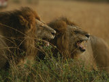 Pair of Snarling Male African Lions Photographic Print by Michael Nichols