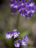 Macro Image of Purple Flowers in a Chinese Forest, Shennongjia, China Fotografisk tryk af David Evans