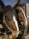 Pair of Clydesdale Horses, Pennsylvania Photographic Print by Tim Laman