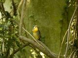 Pekin Robin at the North Carolina Zoo Photographic Print by Joel Sartore