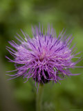 Macro Image of Purple Chinese Wildflower, Jingshan, China Fotografisk tryk af David Evans