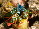 Smashing Mantis Shrimp Holding a Damsel Fish Prey He Has Caught, Bali, Indonesia Photographic Print by Tim Laman