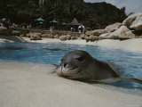Orphaned Hawaiian Monk Seal Relaxes at the Side of a Pool Stampa fotografica di Bill Curtsinger