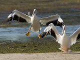 Two American White Pelicans Landing, Sanibel Island, Florida Photographic Print by Tim Laman